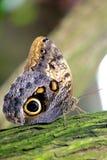 Het rusten Vlinder Royalty-vrije Stock Foto