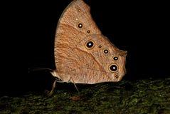 Het rusten vlinder Stock Foto