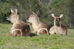 Het rusten Waterbuck Royalty-vrije Stock Foto's