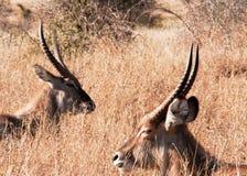 Het rusten Waterbuck (Kobus-ellipsiprymnus) Royalty-vrije Stock Afbeeldingen