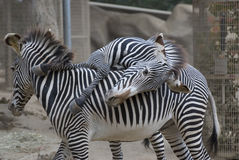 Het rusten Zebra Royalty-vrije Stock Fotografie