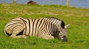 Het rusten Zebra Royalty-vrije Stock Afbeeldingen