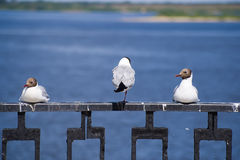 Het rusten zeemeeuwen Stock Foto's