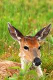 Het rustende bepalen van herten in groene grasweide Royalty-vrije Stock Fotografie