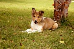 Het ruwe Puppy van de Collie Royalty-vrije Stock Afbeelding