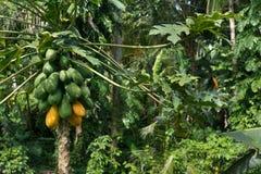 Het ruwe rijpe gele papaja groeien op een boom Stock Fotografie
