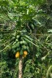 Het ruwe rijpe gele papaja groeien op een boom Royalty-vrije Stock Foto