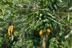 Het ruwe rijpe gele papaja groeien op een boom royalty-vrije stock foto's
