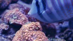 Het sailfinzweempje die boven koralen zwemmen stock videobeelden