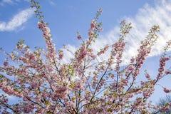 Het is Sakura in bloesem Royalty-vrije Stock Afbeeldingen