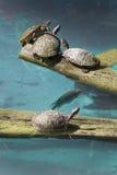 Het samenkomen van schildpadden Royalty-vrije Stock Foto's