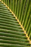 Het sappige close-up van de palmbladtextuur Royalty-vrije Stock Afbeeldingen