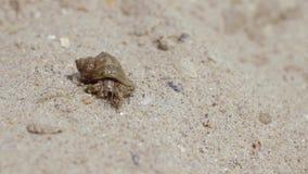 Het schaaldier onderzoekt zijn omgeving op een zandig strand stock footage