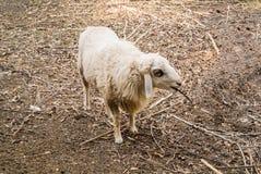 Het schaap is quadrupedal, een herkauwerszoogdieren stock afbeeldingen