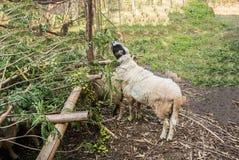 Het schaap is quadrupedal, een herkauwerszoogdieren royalty-vrije stock fotografie