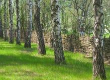 Het schaduwrijke bosje van de berk stock afbeelding