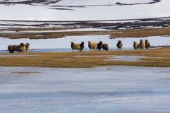 Het schapenlandbouwbedrijf in de winter met bergsneeuw coved Stock Afbeelding