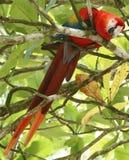Het scharlaken ara voeden in boom, het Nationale Park van Corcovado Royalty-vrije Stock Foto
