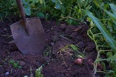 Het scheppen van Aardappels uit Tuin Stock Fotografie