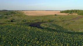 Het scheren vlucht over een gebied van bloeiende zonnebloemen stock footage