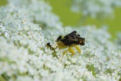 Het scherpe Insect van de Hinderlaag Royalty-vrije Stock Afbeeldingen