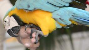 Het schieten van een kleurrijke papegaai aangezien het toeneemt en zich aan een menselijke hand vastklampt stock videobeelden