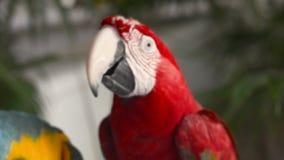 Het schieten van een kleurrijke papegaai terwijl het eten van een menselijke hand stock footage