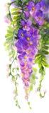 Het Schilderen van de waterverf Violette wisteria Stock Afbeelding