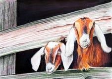 Het Schilderen van geiten Stock Foto