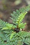 Het schildvaren van de moeder, Polystichum proliferum, Tasman Royalty-vrije Stock Afbeeldingen