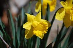 Het schitterende Bloeien Geel Narcissus Flower Blossoms royalty-vrije stock fotografie
