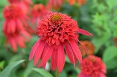 Het schitterende Bloeien Rode Coneflower in een Tuin royalty-vrije stock fotografie