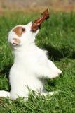 Het schitterende de terriërpuppy van hefboomrussell bedelen Royalty-vrije Stock Fotografie