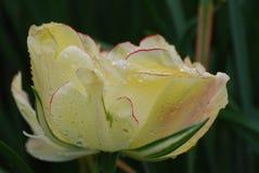 Het schitterende Grote Bloeien Witte Tulip Flower Blossom royalty-vrije stock foto
