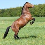 Het schitterende grote bruine paard steigeren stock afbeelding