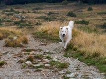 Het schitterende grote witte hond lopen vrij in zijn natuurlijk milieu Maremma, Abruzzese-herdershond royalty-vrije stock afbeeldingen