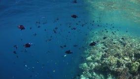 Het scholen Redtooth Triggerfish bij Rand van Ertsader stock footage