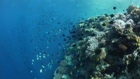 Het scholen redtooth triggerfish en andere species bij rand van ertsader stock videobeelden
