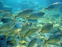 Het scholen salpa van Sarpa van overzeese brasemvissen Royalty-vrije Stock Fotografie