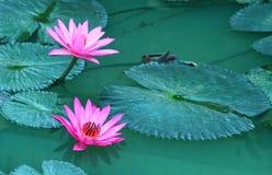 Het schoonheidswater bloeit lilly Roze lotusbloem Stock Foto's