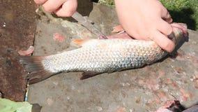 Het schoonmaken en het snijden verse vissen stock video