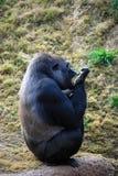 Het schoonmaken van de gorilla Royalty-vrije Stock Foto's