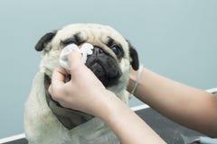 Het schoonmaken van de ogen met een hygiënisch stootkussen van een Zwabbershond stock fotografie