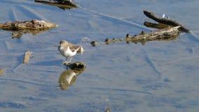 Het schoonmaken van gemeenschappelijke strandloper in de Reserve van Le Teich Bird, Frankrijk stock footage