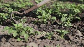 Het schoonmaken van het onkruid op een aardappelgebied stock footage