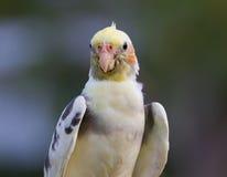 Het schoonmakende lichaam van de cockatievogel Royalty-vrije Stock Foto