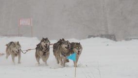 Het schor hondteam neemt aan het ras deel stock video