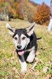 Het schor puppy spelen in het gras Royalty-vrije Stock Foto's