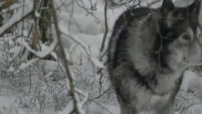 Het schor wandelen in de struiken in het de winterbos stock footage