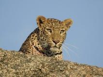 Het schot van de luipaardclose-up Royalty-vrije Stock Foto's